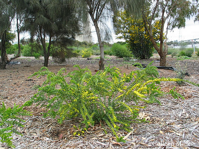 Acacia acinacea / Gold Dust Wattle  Shrub (2.5m), flowering Sep to Nov BrimbankIndigSp