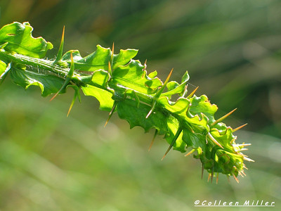 Acacia paradoxa / Hedge Wattle / Kangaroo Thorn #  Shrub (to 4m), flowering Aug to Nov