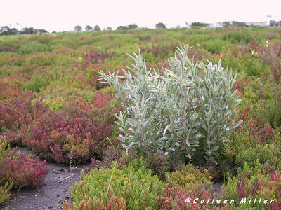 Atriplex cinerea / Coast Saltbush  Shrub (2m x 3m), flowering Sep to Mar.   Plants are dioecious, male flowers reddish purple in globular clusters, female flowers cream in axillary clusters