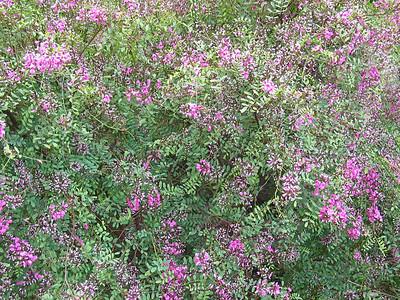 Indigofera australis / Austral Indigo