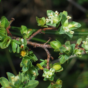 Pimelea spinescens / Spiny Rice-flower