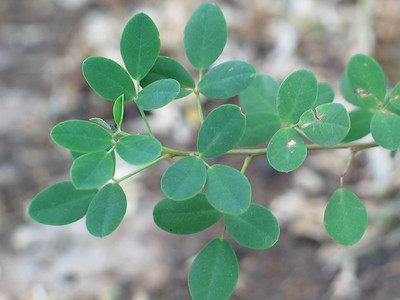 Goodia lotifolia / Golden Tip / Clover Tree