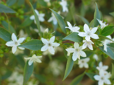 Myoporum viscosum / Sticky Boobialla