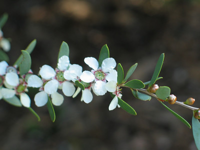 Leptospermum / Tea-tree