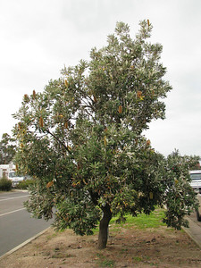 Banksia integrifolia / Coast Banksia  Tall tree (10-20m x 5-10m), flowering Feb to Sep