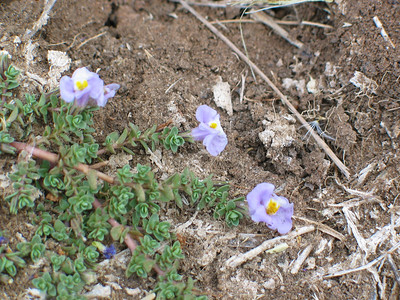 Mimulus repens / Creeping Monkey-flower