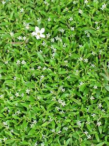 Limosella australis / Australian Mudwort