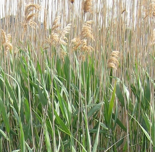Phragmites australis / Common Reed