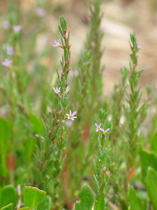 Lythrum hyssopifolia / Small Loosestrife