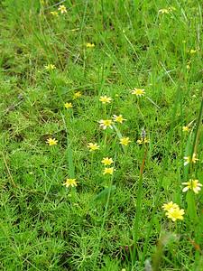Ranunculus inundatus / River Buttercup