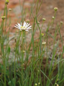 Brachyscome basaltica var. gracilis / Basalt Daisy / Swamp Daisy  Small perennial herb (60cm)