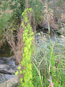 Calystegia sepium / Large Bindweed