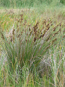 Juncus Krausii / Sea Rush