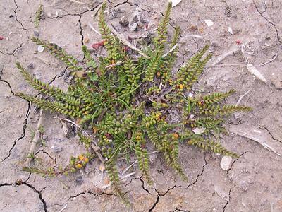 Wilsonia rotundifolia / Round-leaf Wilsonia