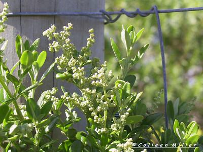 Rhagodia candolleana ssp. candolleana / Seaberry Saltbush