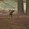 2013 - Fin de matinée en période de brâme, deux cerfs se répondent puis marchent en parallèle, finalement le combat n'aura pas lieu!