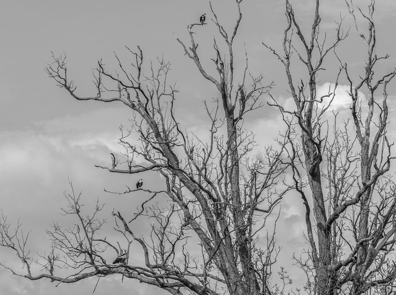 Three Osprey in black and white