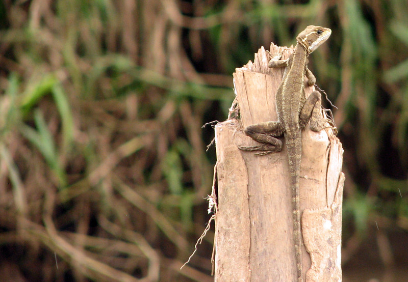 Jesus Christ Lizard or Common Basilisk. We were most fortunate to see this creature while on a boat ride in Costa Rica. Take a look at the video and the reason for the name becomes readily apparent.