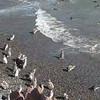 Punta Tombo, Argentina penguin rookery