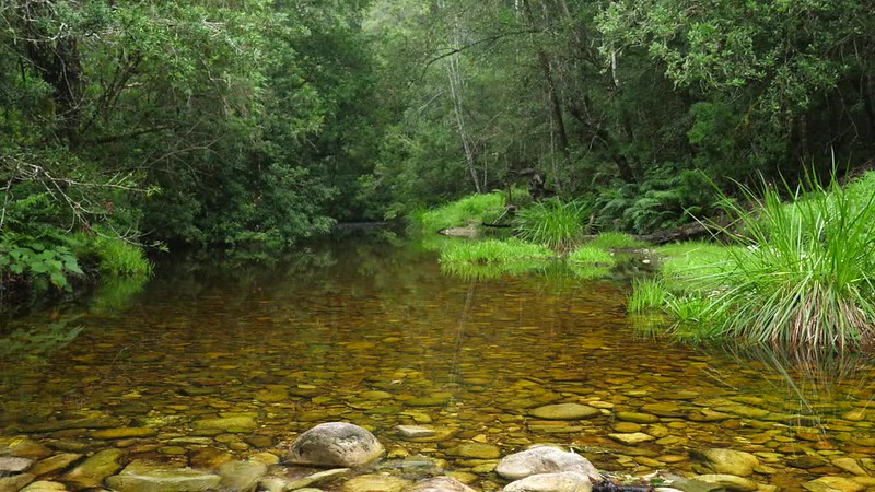 Forest Stream - Garden Route - South Africa GH5R314654