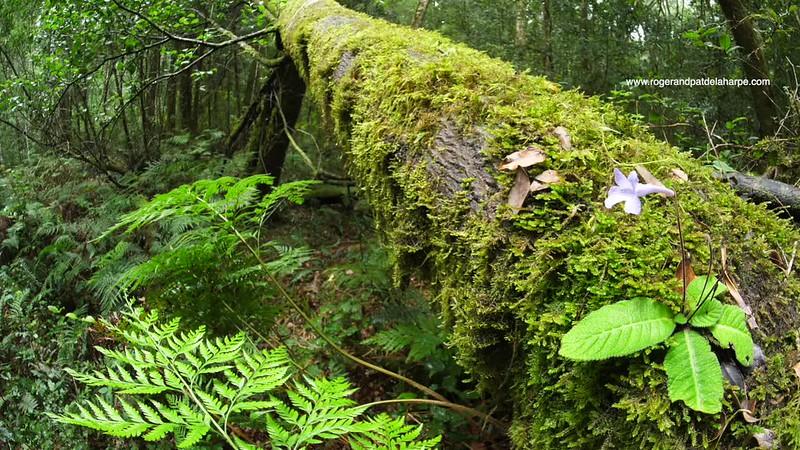 Forest Flower - Wild gloxinia - GH5R314668