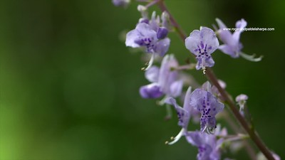 Forest flower. Plectranthus species. GH5R314662
