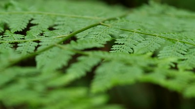 Fern frond pull focus detail. Garden Route - South Africa GH5R314675