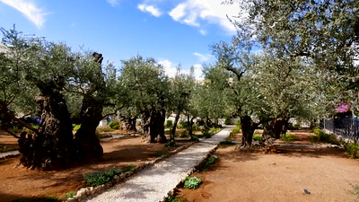 Olive trees at the Garden of Gethsemane