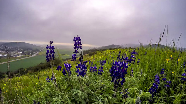Lupine flowers on a hill over Valley of Elah