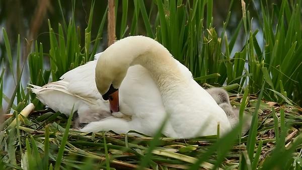 Skerries Swan Family May 2016