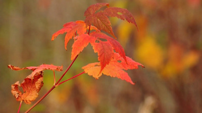 Red Maple Leaves; Blowing in the Wind