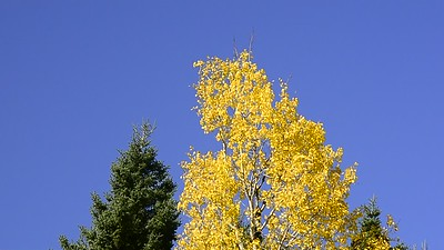 Yellow Leaves Blowing In The Wind