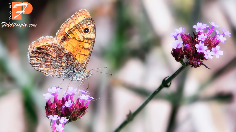 Papillon - Eye for Two (Grayling Butterfly)