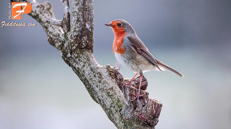 Bird Stories - Saoirse (Robin)