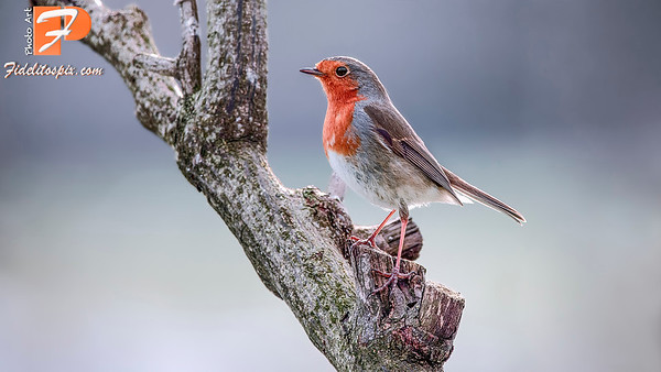 Bird Stories - Saoirse (Robin)