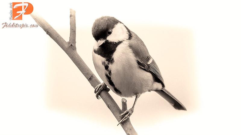 Bird Stories - Lica (Great tit)