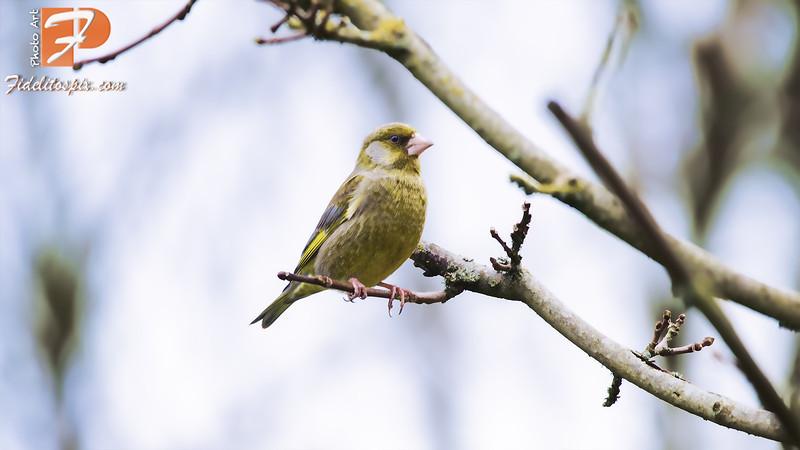 Bird Stories - Anahit (Greenfinch)