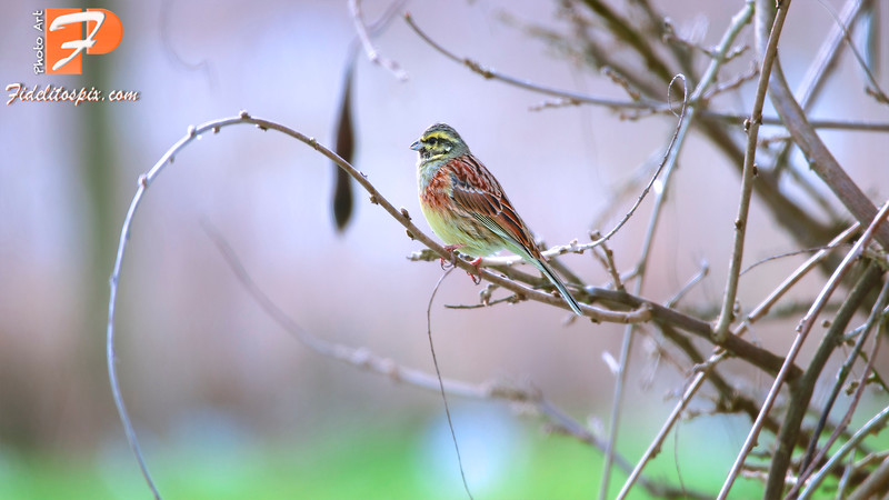 Bird Stories - Talin (Cirl Bunting)