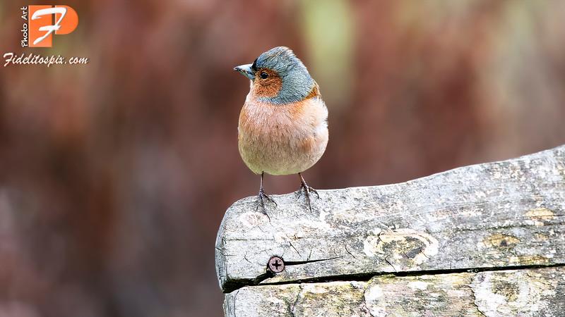 Bird Stories - Belinda (Chaffinch)