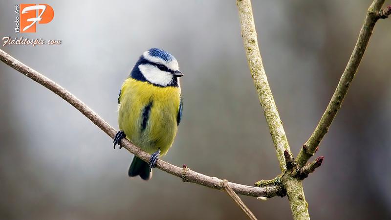 Bird Stories - Faten (Blue tit)