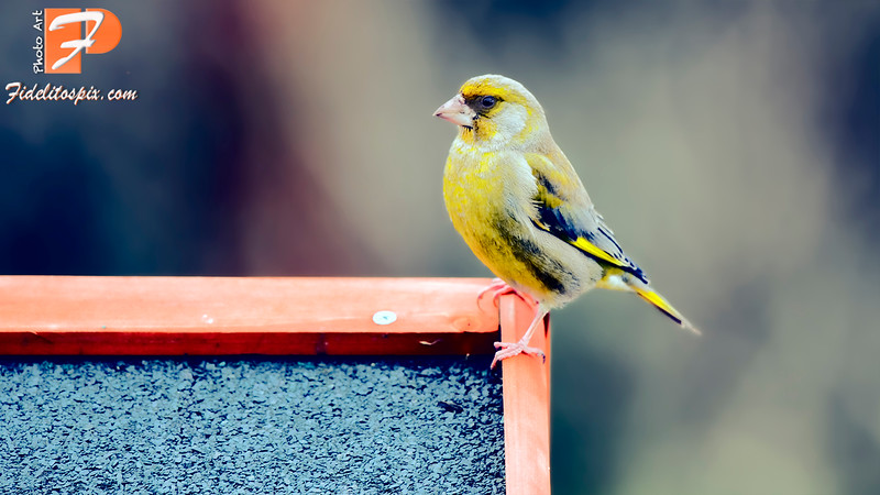 Bird Stories - Roisin (Greenfinch)