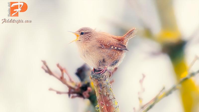 Bird Stories - Tafeda (House Wren)