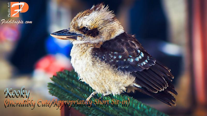 Bird Stories - Kooky (Kookaburra)