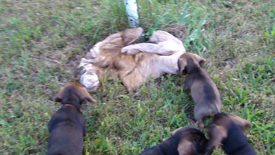 Q and R pups find their first deer hide