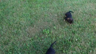 Puppies (5-8 weeks old)