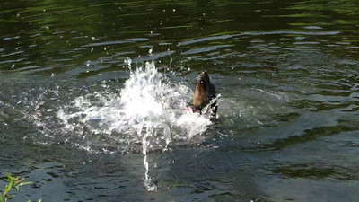 Bernie playing in the pond