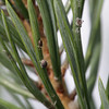 Paratisized plant lice on a pine tree