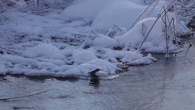 White-Throated Dipper on a cold day at a small river in winter