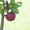 Ripe apple hanging on a tree in summer