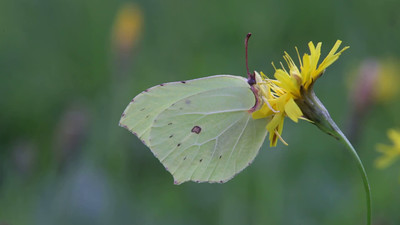 Butterfly Common Brimstone sitting on a flower